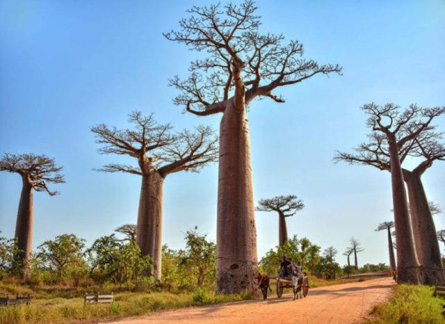 Baobab à Madagascar